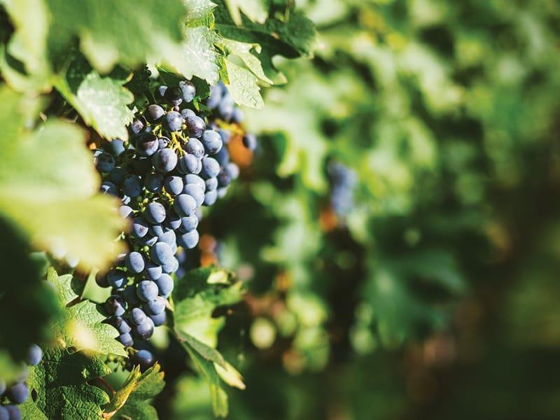 The Rising Popularity Of Georgias Saperavi Grape In Australian Vineyards 1